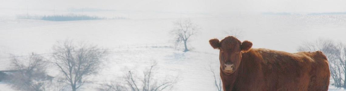 Winter koe weidepoort